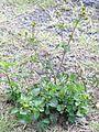 Bidens pilosa plant3 (11972864896).jpg