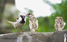 Sparrow in Tharparkar, Sindh