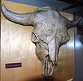 Bison antiquus fossil buffalo (Pleistocene; North America) 2 (15444526865).jpg