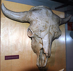 Bison antiquus skull - photo#24