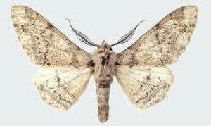 Peppered moth - Image: Biston betularia parva male