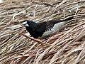 Black-and-white Mannikin (Spermestes bicolor) (7699911414).jpg