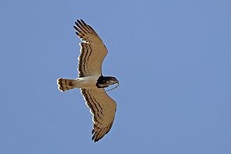 Black-chested snake eagle - Awash National Park, Ethiopia