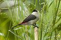 Black-crowned Waxbill - Kibale NP - Uganda H8O5208 (22987532335).jpg