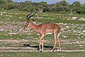 Black-faced impala (Aepyceros melampus petersi) male 2.jpg