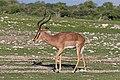 Black-faced impala (Aepyceros melampus petersi) male 2.jpg
