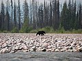 Black Bear along the South Fork Flathead River (34304769055).jpg