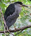 Black Crowned Night Heron.jpg