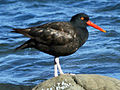Black Oystercatcher RWD1.jpg