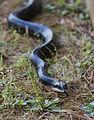 Black Rat Snake (9597236735).jpg