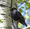 Black Starling in Eastern Siberia.jpg
