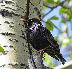 Sturnus - Starling in Eastern Siberia