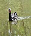 Black Swan R01.jpg