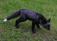 الثعلب الاحمر 200px-Black_fox.JPG