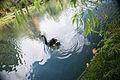 Black swan (3341713002).jpg