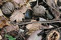 Black walnut dead nut.jpg