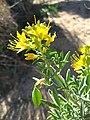 Bladderpod (Peritoma arborea); Indian Cove Nature Trail.jpg