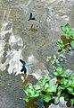Blauflügelige Prachtlibellen 09.jpg