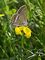 Blaveta de la ginesta - Lampides boeticus - mariposa - blue butterfly (250086572).jpg