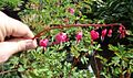 Bleeding Hearts Closeup shot plants growing in NJ in April.jpg