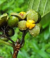 Blepharistemma serratum fruits 08.JPG