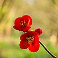 Bloemen van een Chaenomeles x superba 'nicolina' (chinese kwee). 20-04-2021 (actm.) 01.jpg