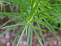 Blue Star Amsonia hubrichtii Leaf Closeup 3264px.jpg