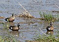 Blue winged teals1c.jpg