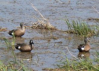Blue-winged teal - Males in Sarpy County, Nebraska