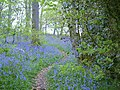 Bluebell Woods - geograph.org.uk - 356372.jpg