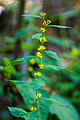 Bluestem goldenrod (24354436314).jpg