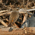Bluethroat (Luscinia svecica) near Hyderabad W IMG 4909.jpg