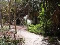 Borassus aethiopum 0100.jpg