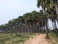 Borassus flabellifer-3-tirunelveli-India.jpg