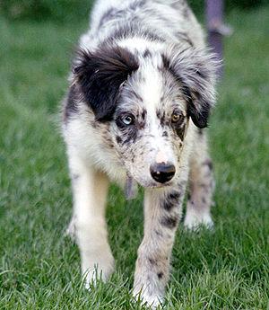 Merle (dog coat) - Blue merle Border Collie puppy