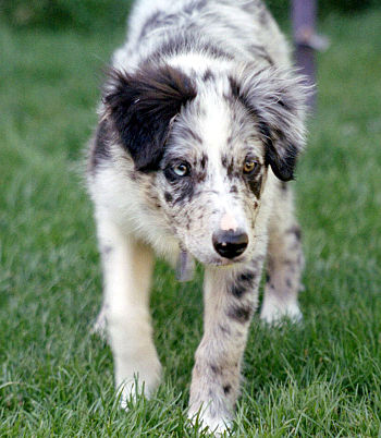 Blue merle Border Collie pup at 15 weeks start...