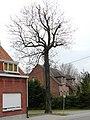 Bornem Benedenstraat 22 Opgaande es als hoekboom (2) - 193444 - onroerenderfgoed.jpg