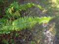 Boston Fern (2873391977).png