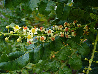 Frankincense - Flowers and branches of the Boswellia sacra tree, the species from which people produce most frankincense.