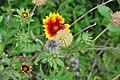 Botanischer Garten der Universität Zürich - Tagetes patula Hybride (Studentenblume) 2010-09-16 16-27-06.JPG