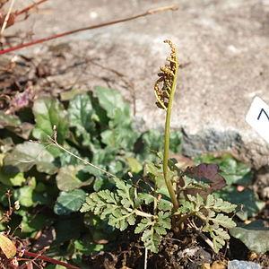Botrychium - Botrychium rugulosum