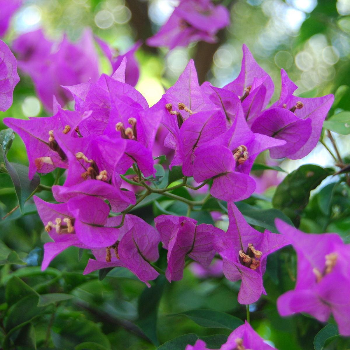 Bougenville wikipedia bahasa indonesia ensiklopedia bebas - White flowering house plants ...