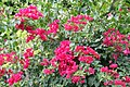 Bougainvillea California Gold 4zz.jpg