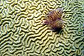 Brain Coral and Christmas tree worm (15427837544).jpg