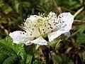 Bramble (Rubus fruticosus agg) (5781544034).jpg