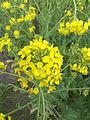 Brassica rapa subsp. oleifera, bladkool (7).jpg