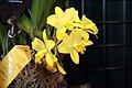 Brassolaeliocattleya Love Sound Dogashima 1zz.jpg