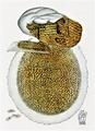 Bresadola - Merulius lacrimans.png