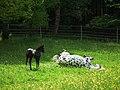 Bretten Fohlen beobachtet sich wälzende Mutter.JPG