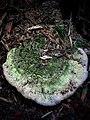 Bridgeoporus nobilissimus 750402.jpg